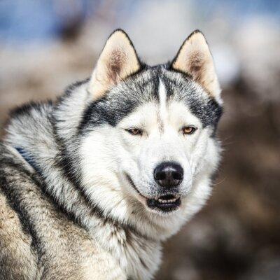 Картина Портрет ездовой собаки, хаски собаки