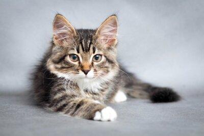 Картина portrait of lying cat