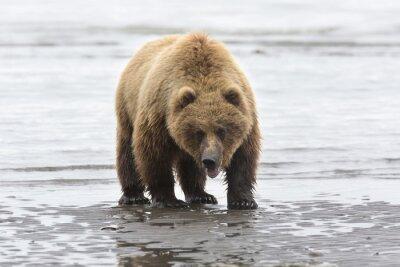 Картина Портрет дикой бесплатный роуминг бурого медведя
