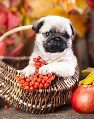 Картина мопс щенок