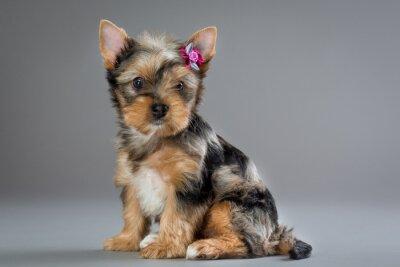 Картина щенок йоркширского терьера