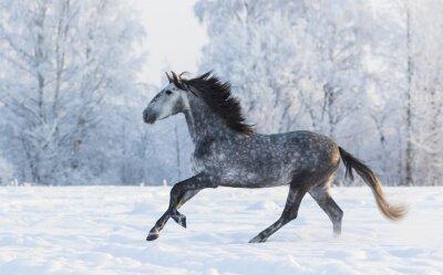 Картина Чистокровный лошадь галопом по зимней заснеженной поляне