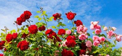 Картина Красные и розовые розы. Альпинистских