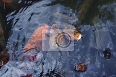 красный карп рыбы
