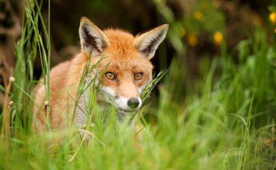 Картина рыжая лиса
