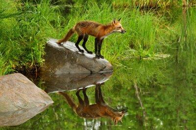 Картина Red Fox и вода отражение в окружении зелени.