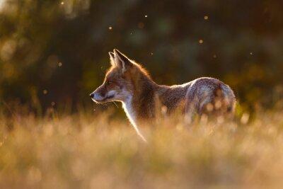 Картина Red Fox в красивом свете