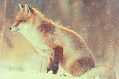 Картина красная лисица в зимнем лесу Довольно