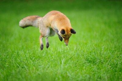 Картина Красная лиса на охоте, когда в траве передвигая мышь с передней вид сбоку
