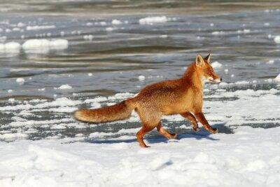 Картина красная лисица, работающие на льду