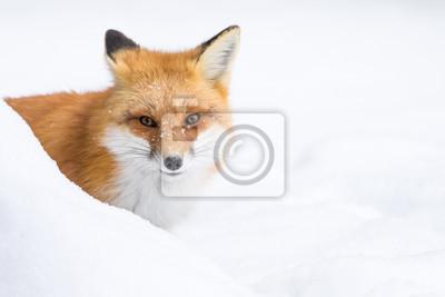 Картина Red Fox, Vulpes Vulpes, выглядывая из-за сугроба