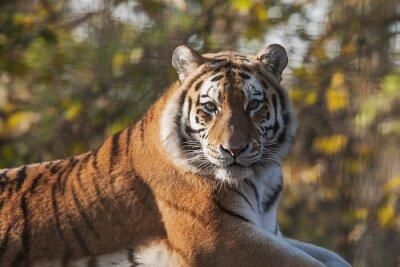 Картина Отдых Индийский тигр
