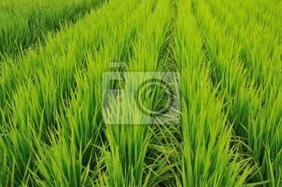 рис поля строк