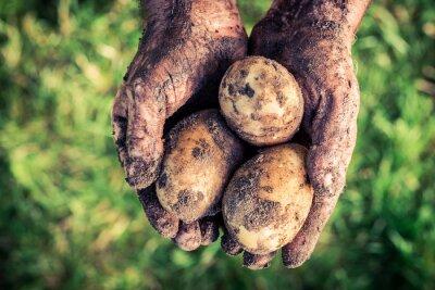 Картина Спелые картофель в руках