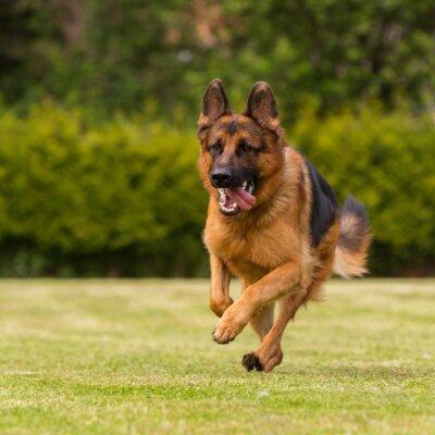 Картина Schaeferhund läuft Визе