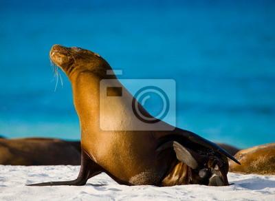 Картина Sea lion on the beach. Galapagos Islands.