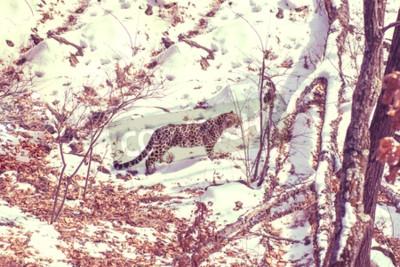 Картина Приморский леопард, агрессивное животное гуляет по заснеженной земле, большой красивый полосатый леопард. зима