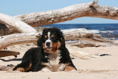 Картина Sennenhund щенок