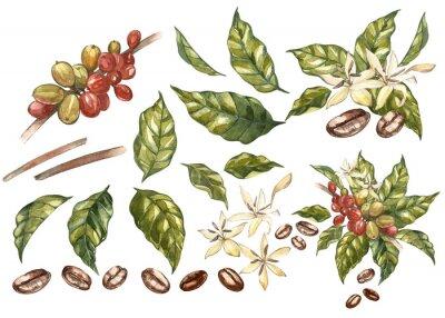 Картина Набор красных кофе арабика бобы на ветке с цветами изоляции, акварель иллюстрации.