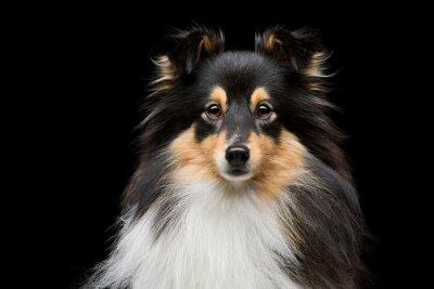 Картина Шелти собака