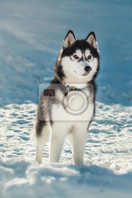Картина Сибирский хаски с карими глазами в снегу