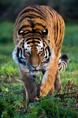 Картина Амурский тигр