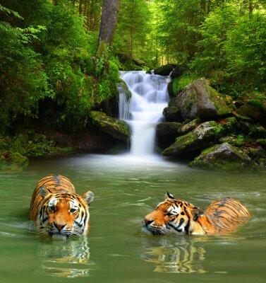 Картина Сибирские тигры в воде