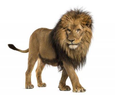 Картина Вид сбоку ходьбе Lion, Panthera Leo, 10 лет