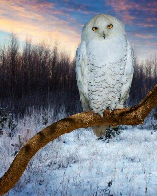 Картина Снежная Сова во время заката