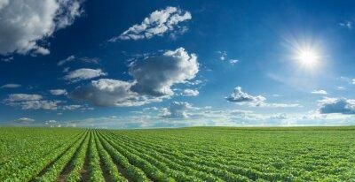 Картина Soybean fields rows in summer season