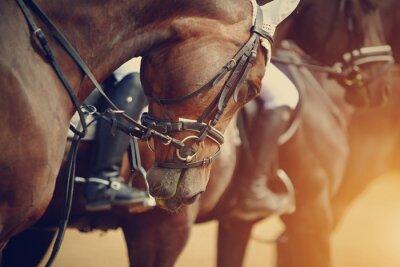Картина Спорт коричневые лошади перед соревнованиями.