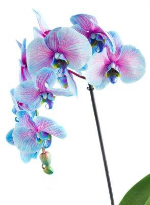 Картина Стебель синих орхидей