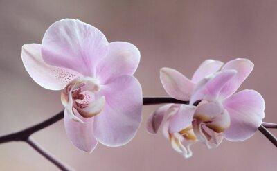 Картина Storczyki - Orchidea