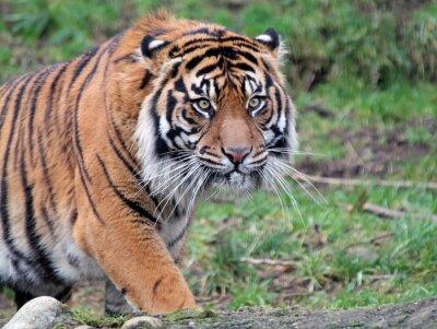 Картина Суматры Tiger