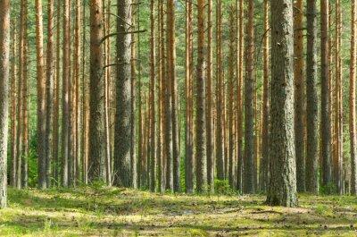 Картина Лето Сосновый бор