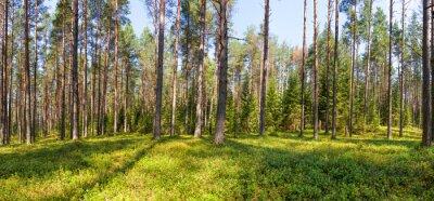 Картина панорама сосновый лес лето