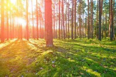 Картина Восход солнца в сосновом лесу
