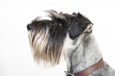 Картина The wise Schnauzer dog