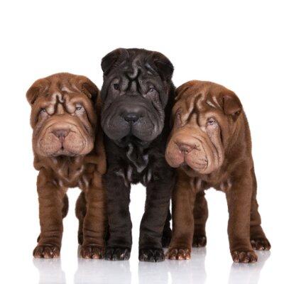 Картина three shar-pei puppies on white