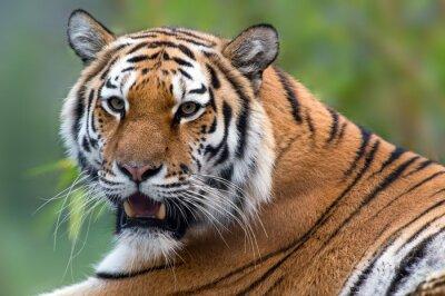 Картина Tiger