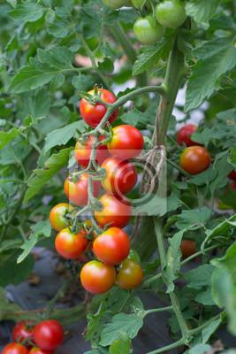 помидоры висят на дереве