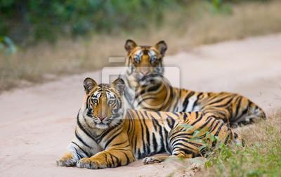 Картина Два бенгальского тигра лежал на дороге в джунглях. Индия. Национальный парк Бандхавгарх. Мадхья-Прадеш. Отличной иллюстрацией.