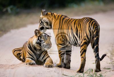 Картина Два бенгальского тигра на дороге в джунглях. Индия. Национальный парк Бандхавгарх. Мадхья-Прадеш. Отличной иллюстрацией.