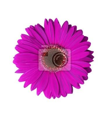 фиолетовый цветок герберы