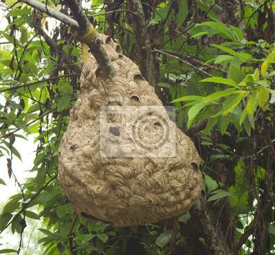 Оса гнездо