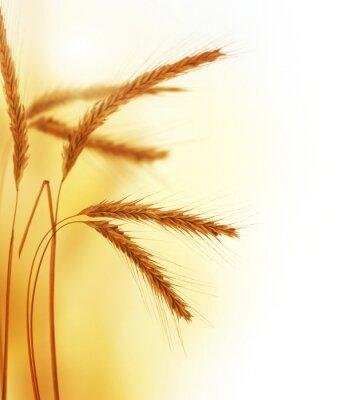 Картина Пшеница пограничной