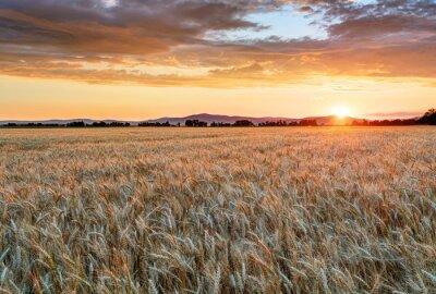 Картина Пшеничное поле на закате