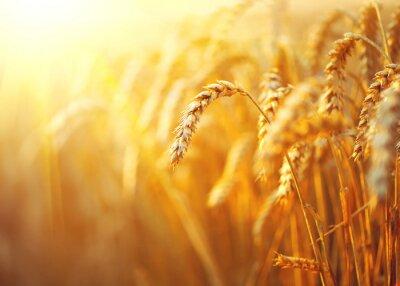 Картина Пшеничное поле. Уши золотой крупным планом пшеницы. Сельские пейзажи под сияющим солнечным светом