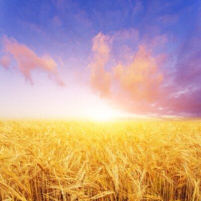 Картина поле пшеницы в летний день в Новой Зеландии
