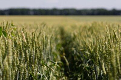 Картина поле пшеницы в летний день